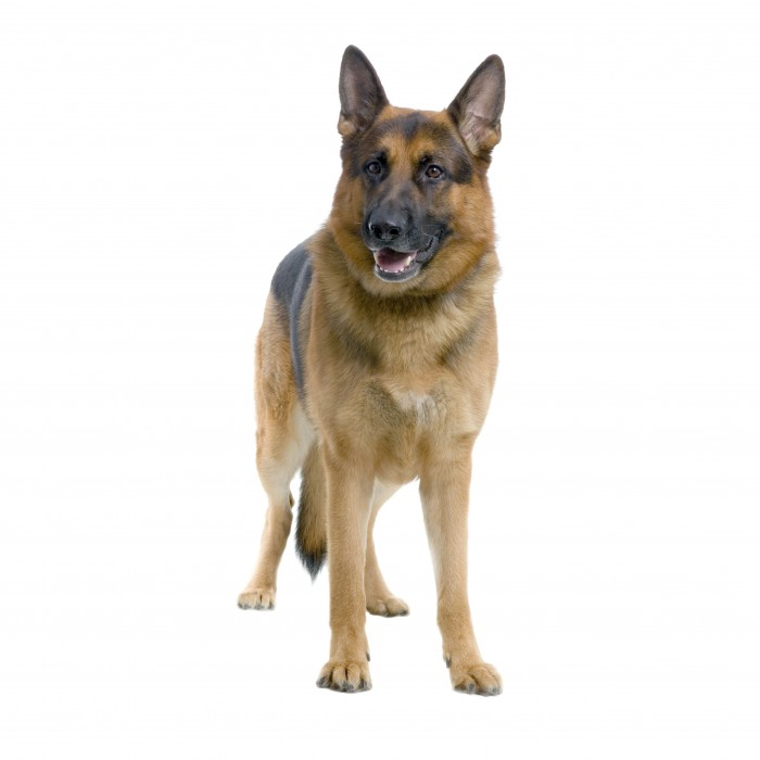 german shepherd standing in front of white background