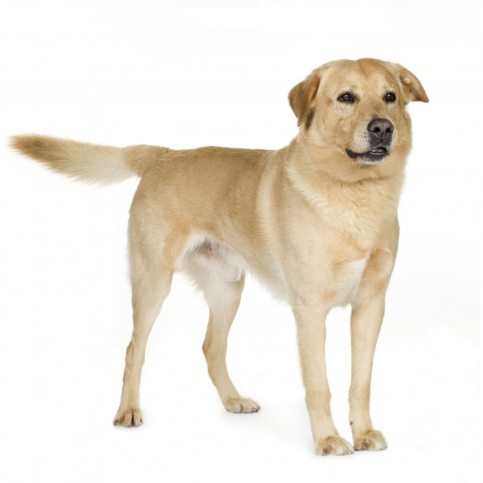 Labrador (7 years) in front of a white background