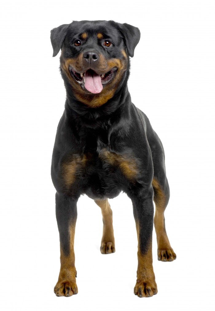rottweiler (2 years old)