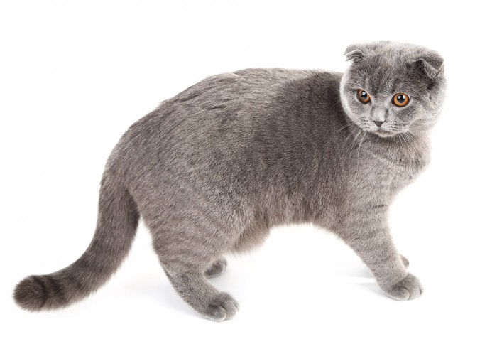 Walking British cat isolated on white