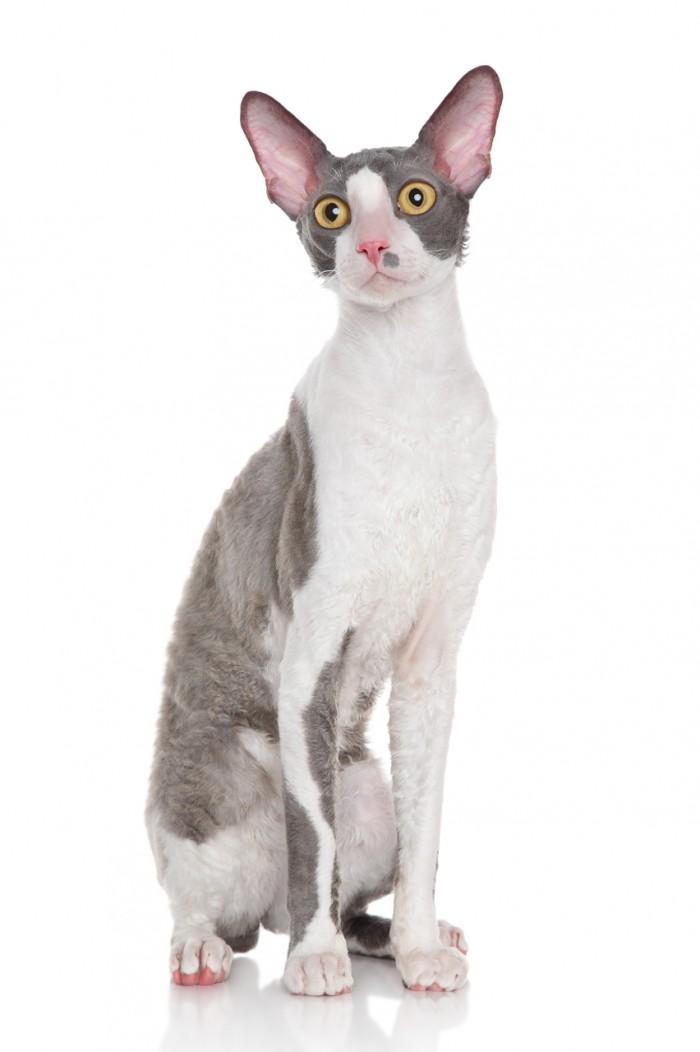 Cornish Rex kitten sitting on a white background