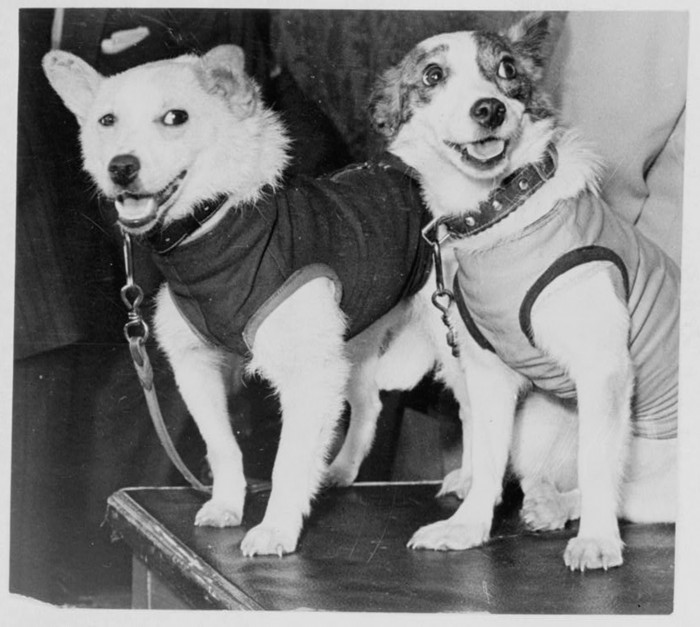 Belka and Strelka, Russian cosmonaut dogs, 1960. Belka and Strelka flew into Earth orbit on board Sputnik 5 on 19 August 1960 as part of the Soviet programme aimed at determining the viability of manned spaceflight. They were accompanied on the flight by (Photo by Fine Art Images/Heritage Images/Getty Images)